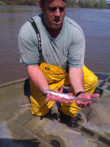 Juvenile paddlefish just prior to release